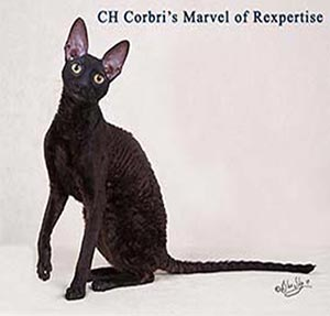 Marvel, rex de cornouailles maale Cornish rex cat